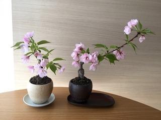 201804bonsai-yaezakura.jpg